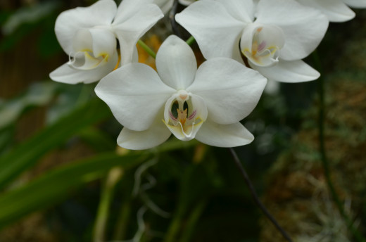 Pretty white orchids.