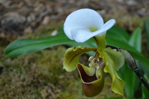 A very interesting looking white, green and brown orchid.