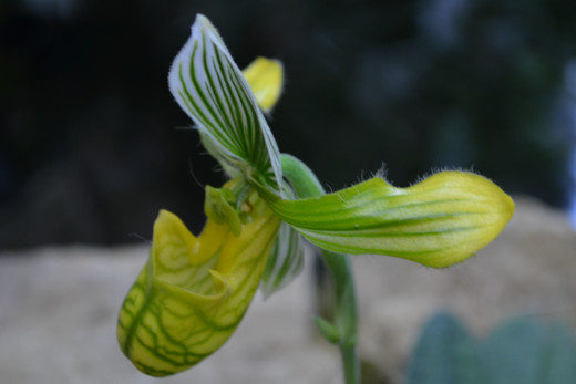 Green, Yellow and white striped orchid.  I can hardly believe how unique and interesting these are!