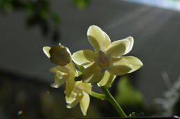 Sunshine on light colored yellow orchids.