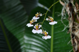 Small, petite, white and burgundy colored orchids.