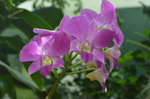 Pretty purple colored orchids.