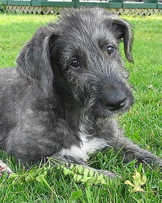 An Irish Wolfhound, giant even as a puppy.