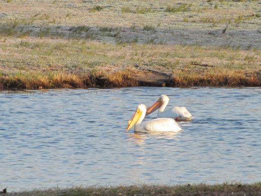 The American White Pelican mate for life