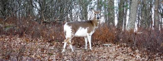 Piebald deer (2009)