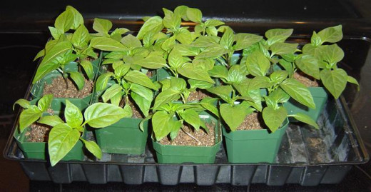 These strong and stocky pepper seedlings were grown under a fluorescent shop light and lightly brushed by hand daily.