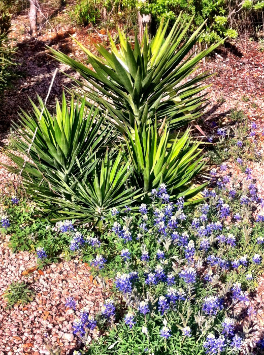 Cactus and Bluebonnets. I love the mix.