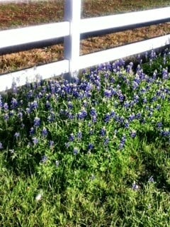 Lush Bluebonnets With a Beautiful White Fence