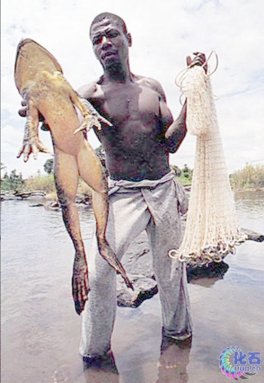 Goliath Frog of Africa