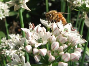 A bee resting on a garlic chive plant