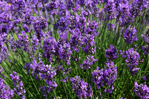 Lavender adds an aromatic level to your drinks