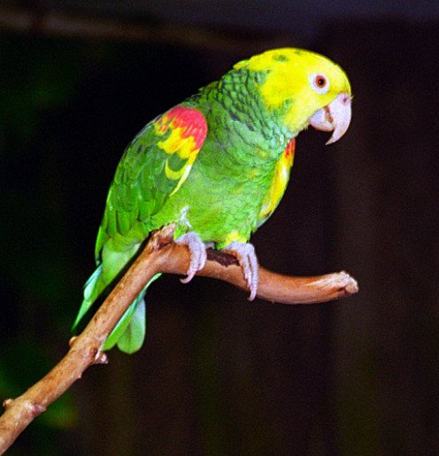 Photo: Double Yellow-Headed Amazon Parrot