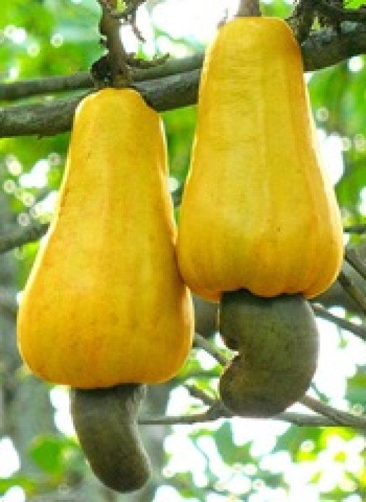 The cashew fruit