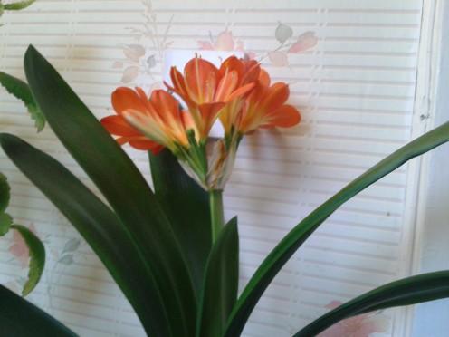 baby Kaffir Lily