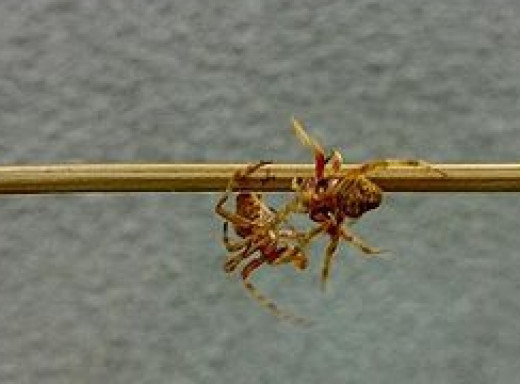 Spider Fighting with a stick.
