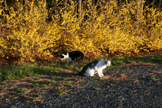 My cats playing near the forsythia. This hedge is less than five years old and it is already quite tall.