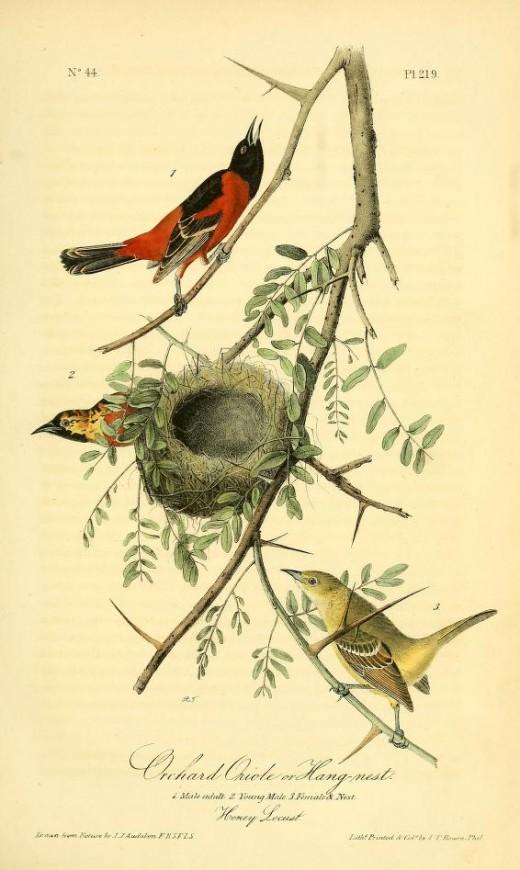 From Birds of America by John James Audubon