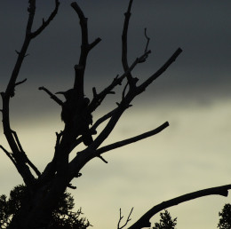 A Curve-billed Thrasher perched in the bare branches of a Juniper tree at sunset caught my eye. As shadows lengthen...