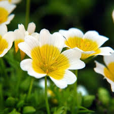 Poached Egg Plant.