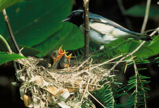 The male black throated blue warbler teaches his chicks to sing.