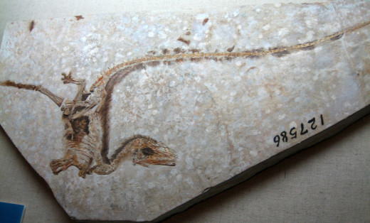 A fossil of Sinosauropteryx feathered dinosaur in the Inner Mongolia Museum.