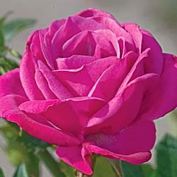 Winsome Miniature Rose
