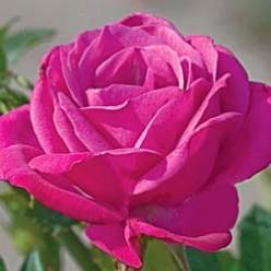 Winsome Miniature Rose