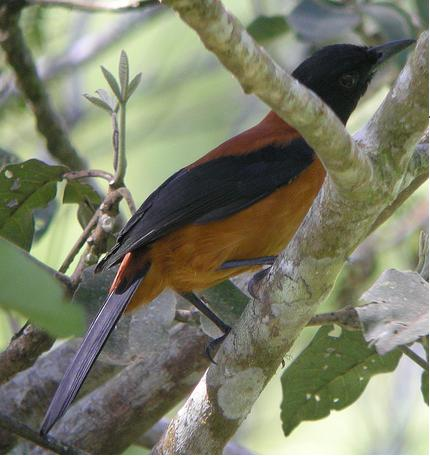 The hooded pitohui bird has the same toxin as the Colombian poison dart frog.