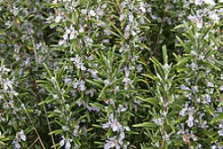 Rosemary And Its Many Uses