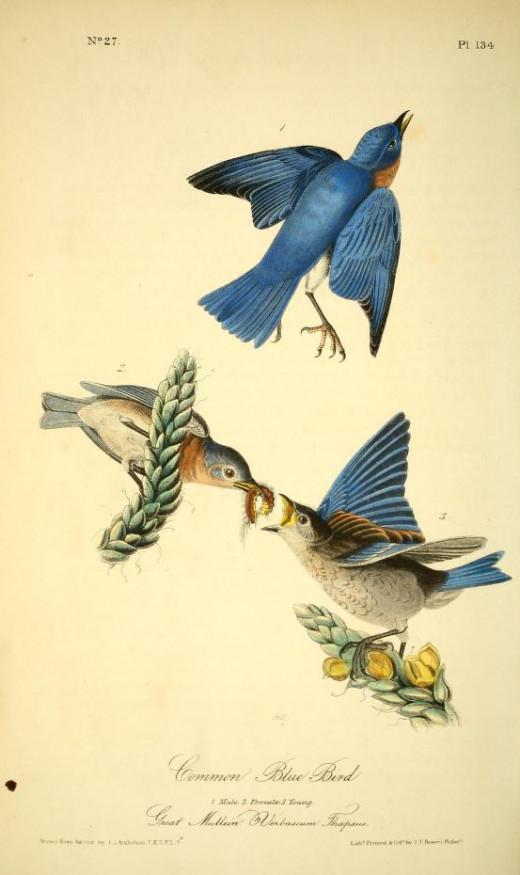 From American Birds -John James Audubon
