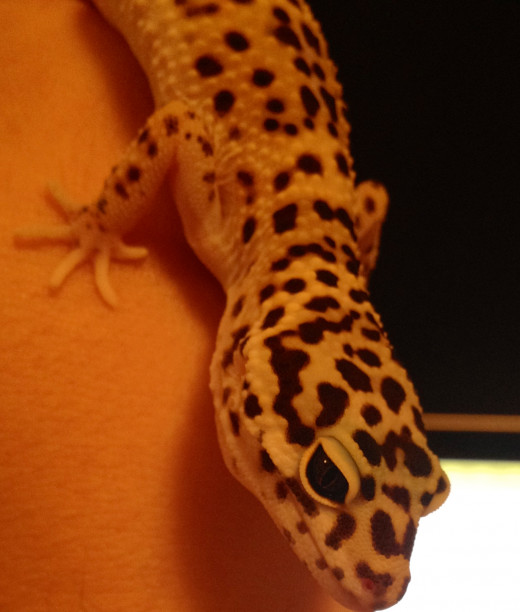 Rango: My 9 Month old Leopard Gecko