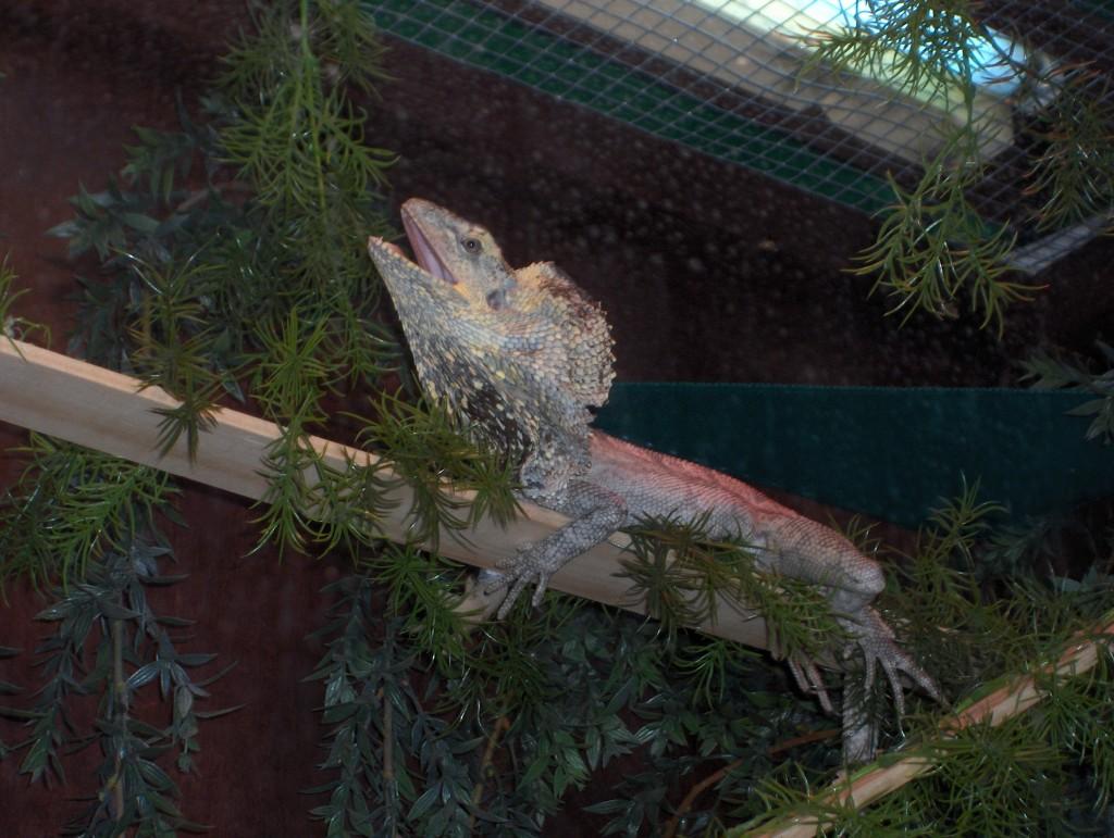 Frilled-Neck Dragon Pet Care | HubPages