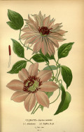 Clematis,their History and Impact on Gardens
