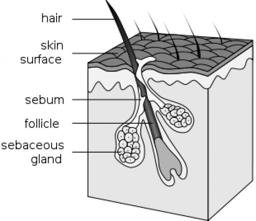 Each hair arises from a pocket in the skin called the follicle. Next to the follicle is an erector muscle that raises or lowers the hair, changing the insulating properties of the coat.