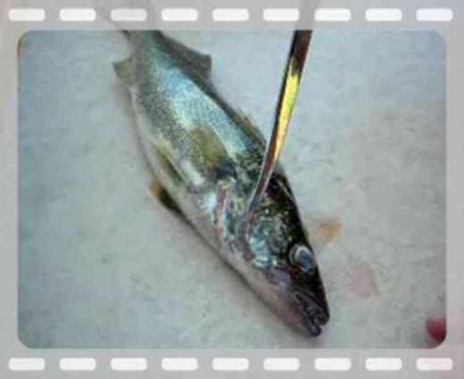 Filleting Walleye