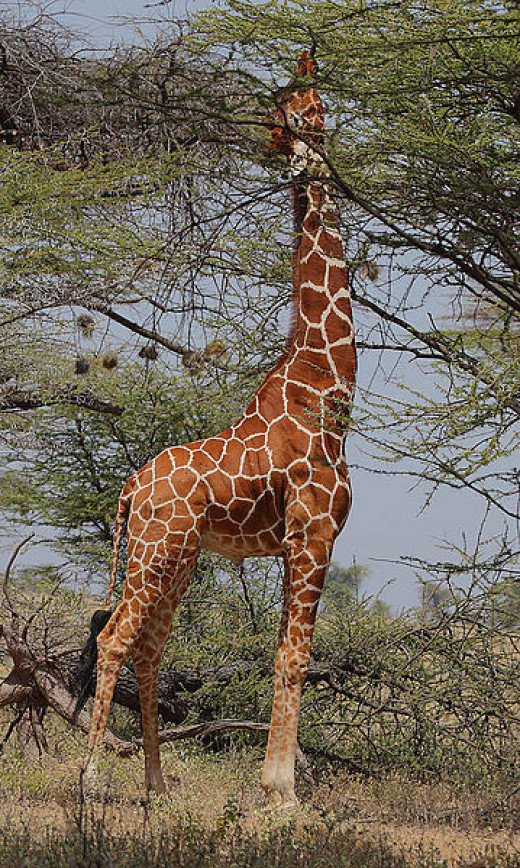 Mammals avoid competing with one another by eating different foods or getting the same food in different ways. For example, the long neck of a giraffe allows it to feed at a height beyond the reach of other herbivores.