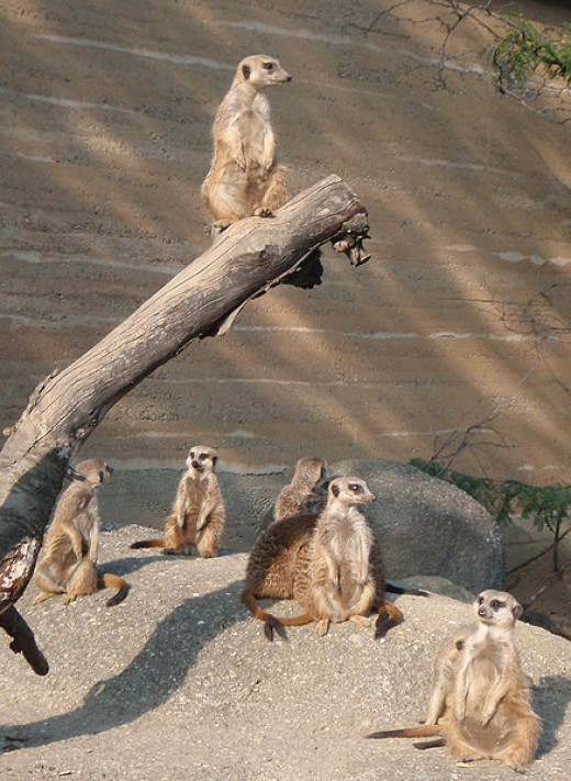 Living in a group has several advantages for small mammals, such as these meerkats. For example, there is more chance of spotting predators, the burden of rearing young can be shared, and the territory can be defended collectively.