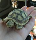 Sulcata Tortoise Basics