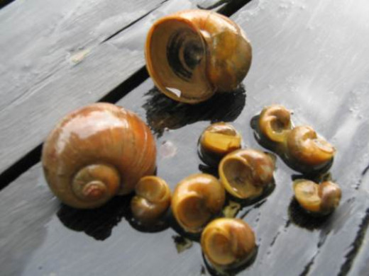 Channeled apple snail (Pomacea canaliculata)