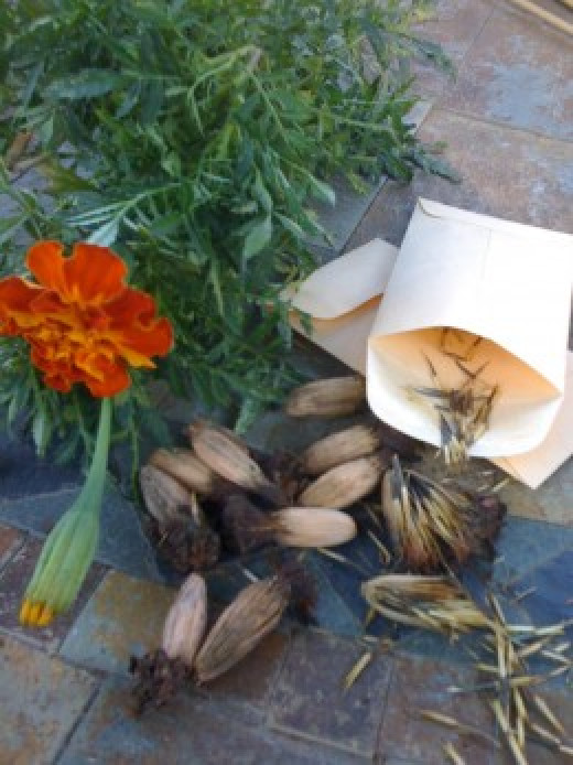 It is easy to save old fashioned marigold seed. Modern, hybrized plants can not be saved.