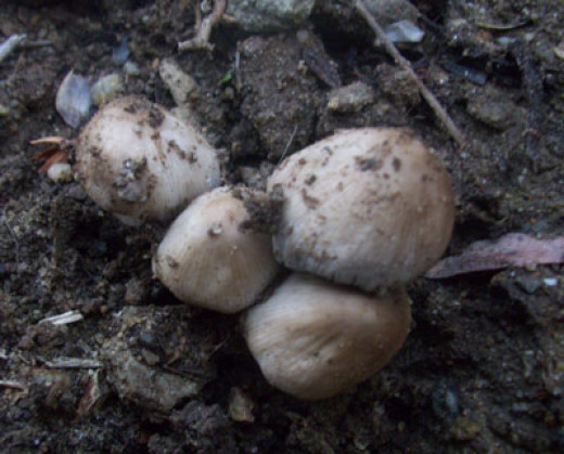 Fungi growing in soil