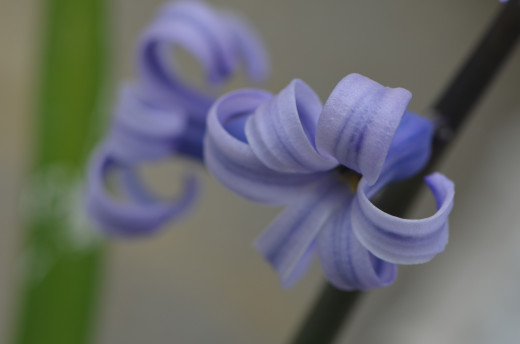 These purple hyacinths were the last of my hyacinths to bloom.  They are almost blue!