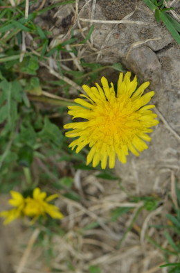 "Another ""weed"" that the critters love, and some humans too!  People love to make salads and more out of these dandelion flowers!"