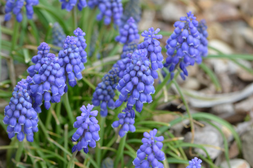 One of my favorites is the grap hyacinth flower.  They are also known as Muscari Armeniacum.  They are just so cute, and such a deep rich blue or purple colored flower.