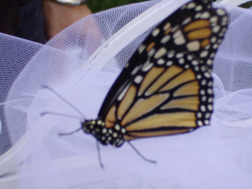 Monarch butterfly after a butterfly release