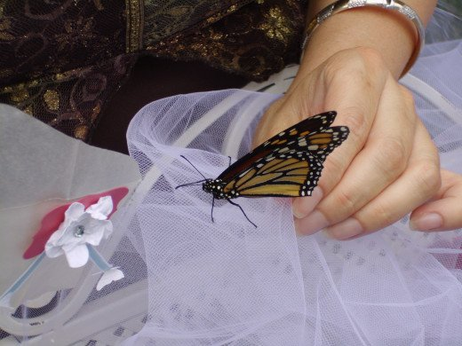 Monarch butterflies are hardy and it is ok to handle and touch them during the butterfly release.