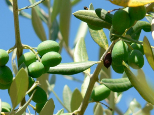 Olives on the branch.