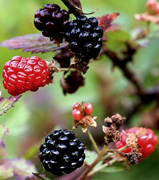Blackberries ripening - just perfect for a cobbler