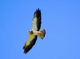 Swainson's Hawk in flight