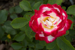 Double Delight Hybrid Tea